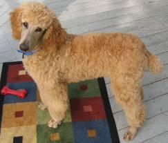 Medium Photo #3 Poodle (Standard) Dog Breed