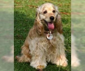 Small #3 Breed Cocker Spaniel image