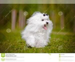 Small #5 Breed Maltese image