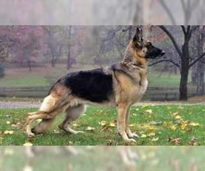 Small #4 Breed German Shepherd Dog image