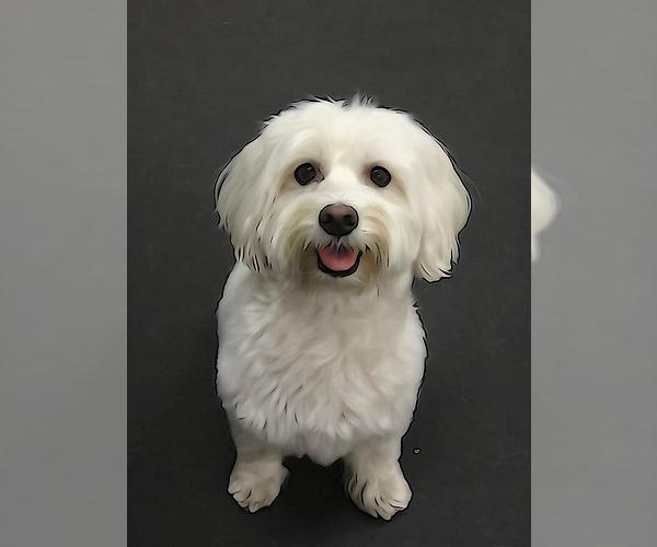 Medium Photo #5 Havanese Dog Breed