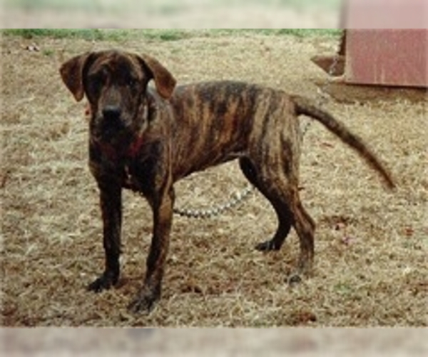 Tennessee Treeing Brindle Dogs For