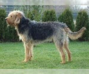 Small #4 Breed Otterhound image