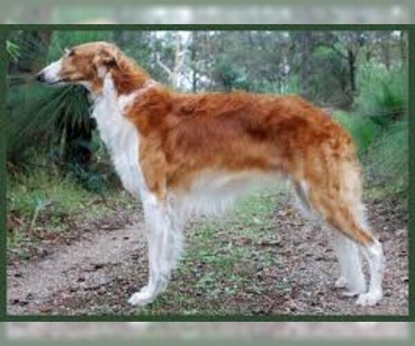Medium Photo #3 Borzoi Dog Breed