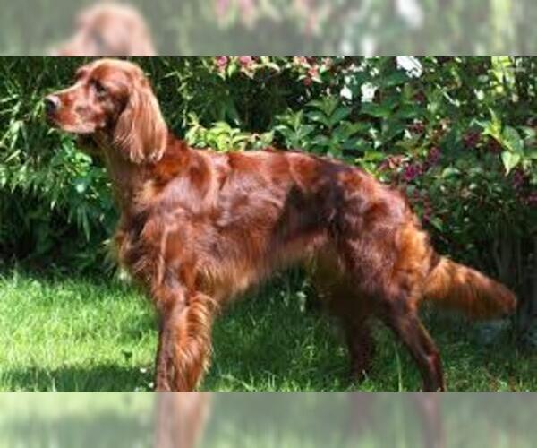 Medium Photo #5 Irish Setter Dog Breed