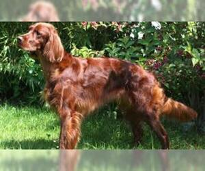Small Photo #5 Irish Setter Dog Breed