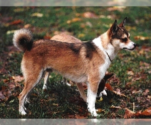 Image of Norweigian Lundehund breed