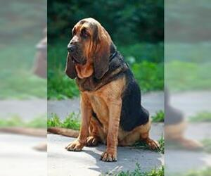 Small #4 Breed Bloodhound image