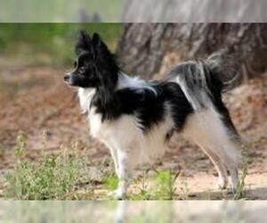 Small #4 Breed Papillon image