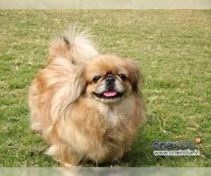 Small #4 Breed Pekingese image