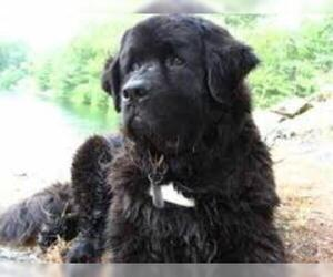 Small #3 Breed Newfoundland image