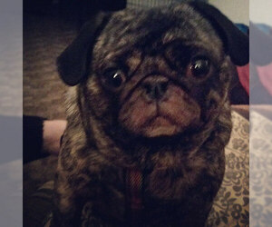 Small Photo #5 Pug Dog Breed
