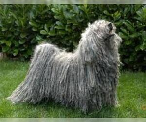 Small #2 Breed Puli image