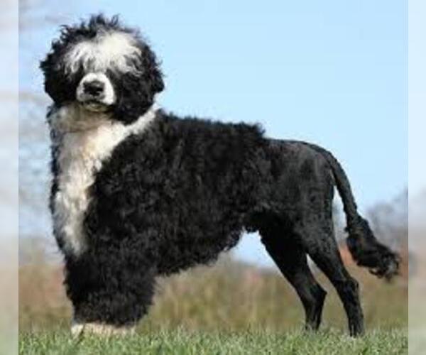 Medium Photo #6 Portuguese Water Dog Dog Breed
