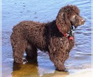 Small #3 Breed Irish Water Spaniel image
