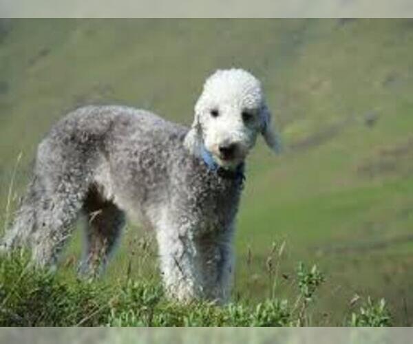 Medium Photo #4 Bedlington Terrier Dog Breed