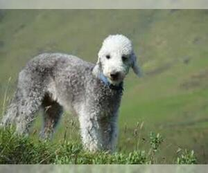 Small #3 Breed Bedlington Terrier image
