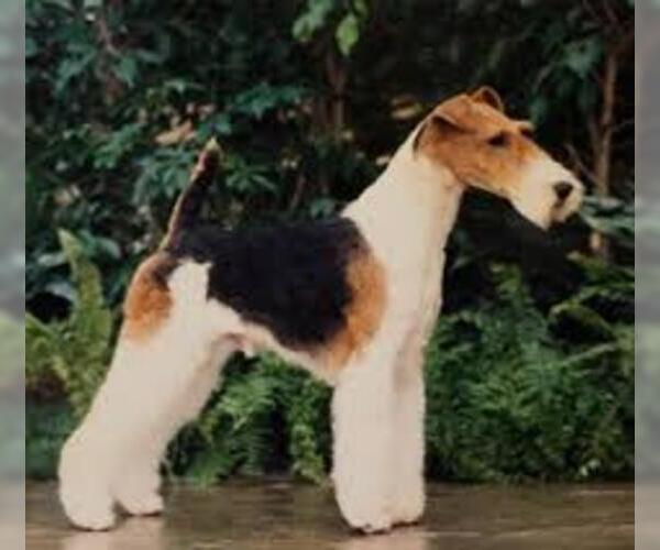 Medium Photo #3 Wire Fox Terrier Dog Breed