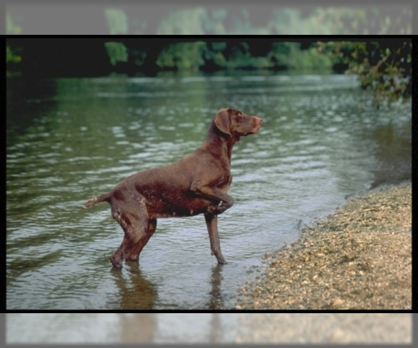 Image of German Shorthaired Pointer Breed