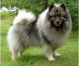 Small #6 Breed Keeshond image