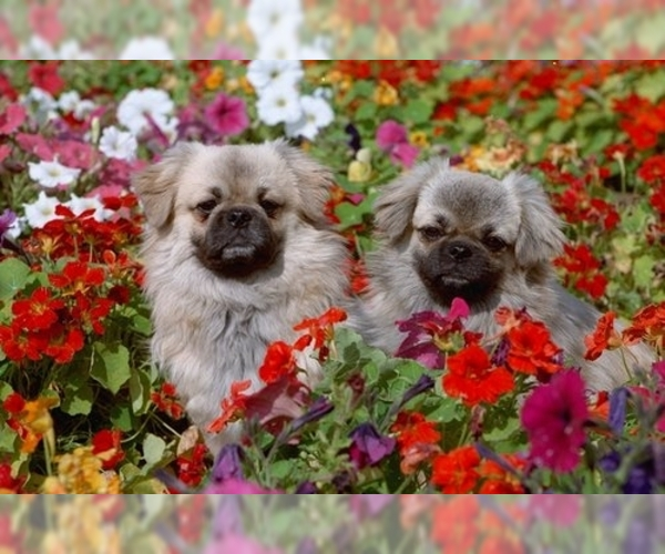 Image of Tibetan Spaniel Breed