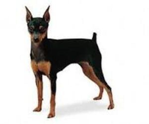 Small #5 Breed American Rat Pinscher image
