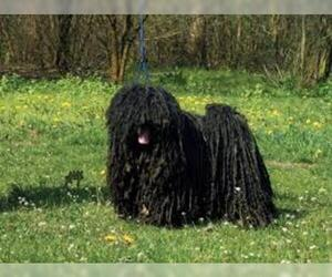 Small #1 Breed Puli image