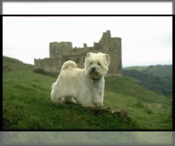 Image of West Highland White Terrier Breed