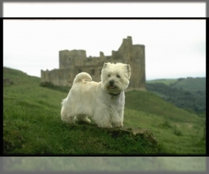 Image of breed West Highland White Terrier