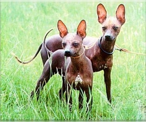 Samll image of Xoloitzcuintli (Mexican Hairless)