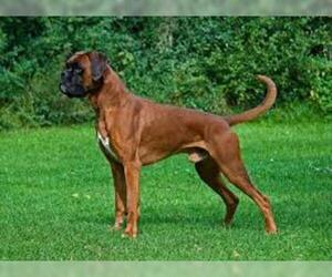 Small #1 Breed Boxer image