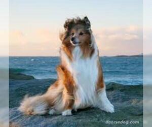 Small #4 Breed Shetland Sheepdog image