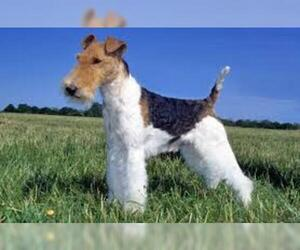 Small Photo #4 Wire Fox Terrier Dog Breed