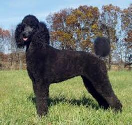 Small #6 Breed Poodle (Standard) image