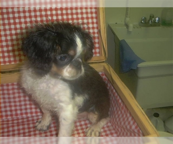 Image of English Toy Spaniel Breed