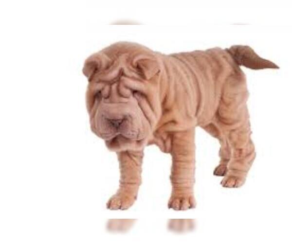Medium Photo #7 Chinese Shar-Pei Dog Breed