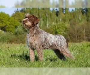 Small #2 Breed Wirehaired Pointing Griffon image