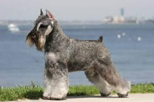 Small #5 Breed Schnauzer (Standard) image
