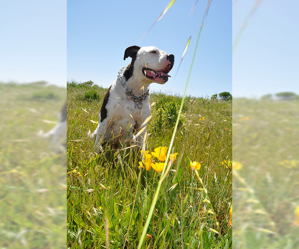 Medium Photo #5 Alapaha Blue Blood Bulldog Dog Breed