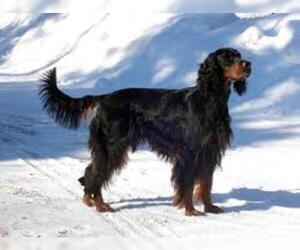 Small Photo #5 Gordon Setter Dog Breed