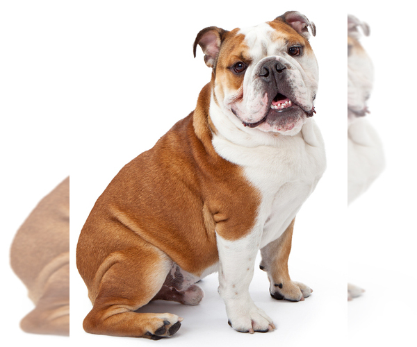 Image of English Bulldog Breed