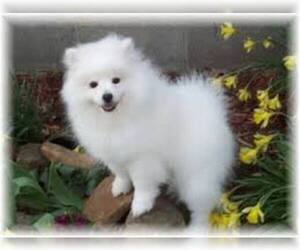 Small #4 Breed American Eskimo Dog image