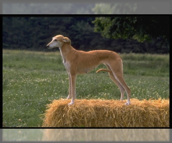 Image of Italian Greyhound Breed