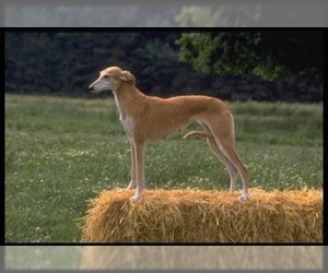 Samll image of Italian Greyhound
