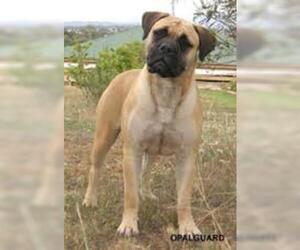 Small #1 Breed Bullmastiff image