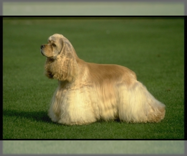 Image of Cocker Spaniel Breed