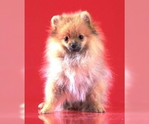 Image of Medium Spitz Breed
