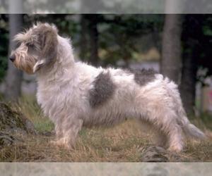 Image of Grand Basset Griffon Vendeen breed