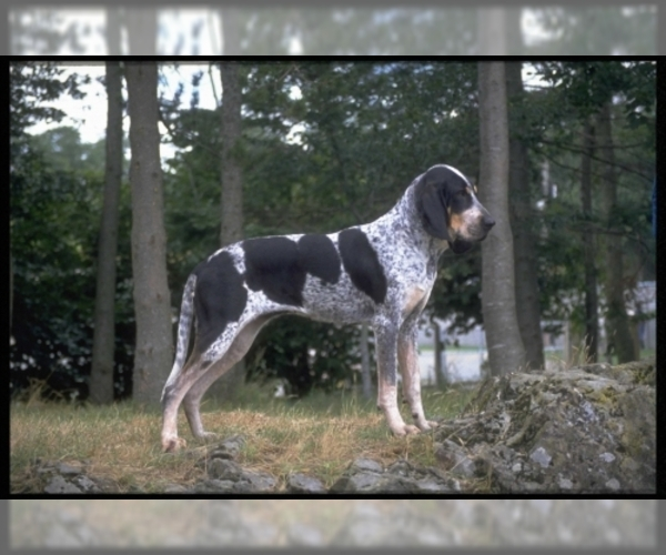 Image of Blue Gascony Griffon Breed