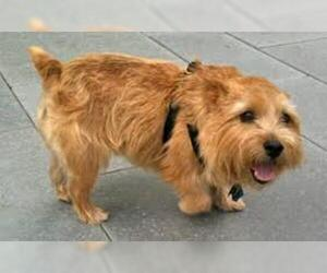 Small #5 Breed Norwich Terrier image